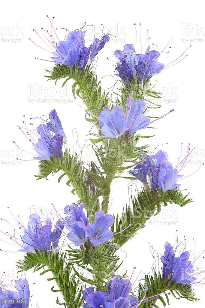 viper's bugloss or blueweed (echium vulgare) isolated on white stock photo