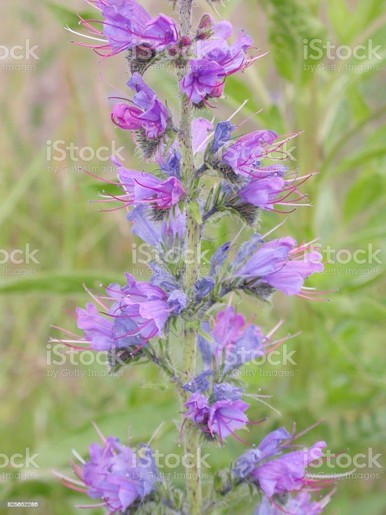 Viper's Bugloss (Echium vulgare) stock photo