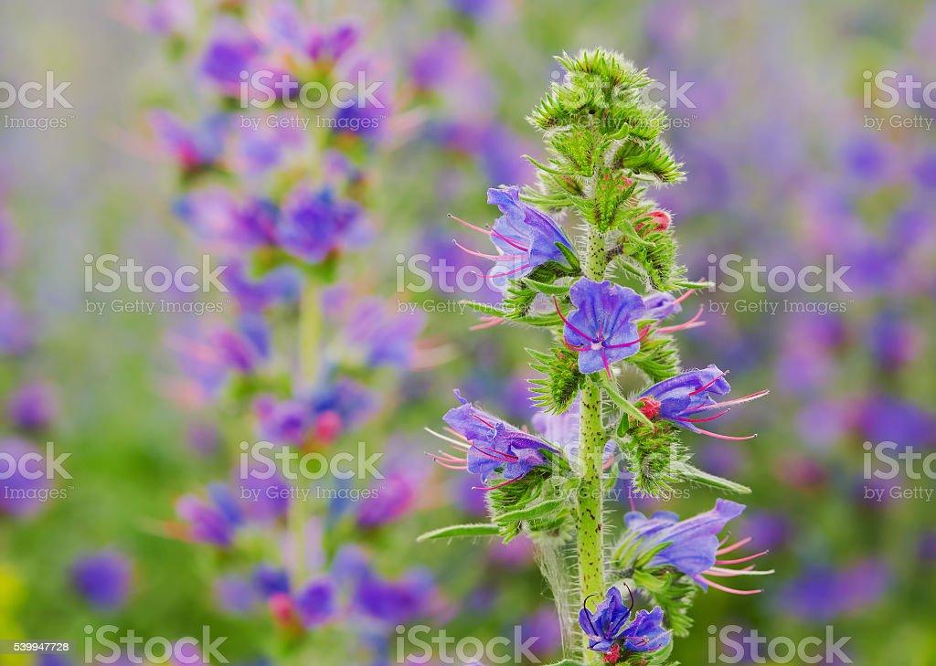 viper's bugloss plant (Echium vulgare) stock photo