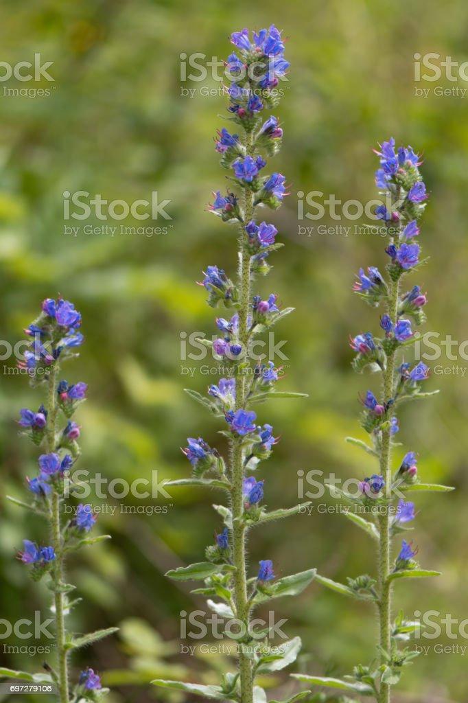 Viper's bugloss (Echium vulgare) plants in flower stock photo