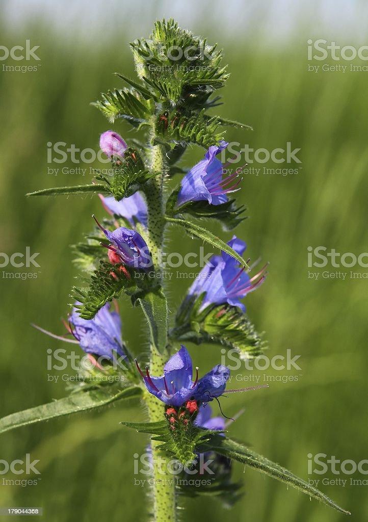 Viper's bugloss,Echium vulgare plant blooming stock photo