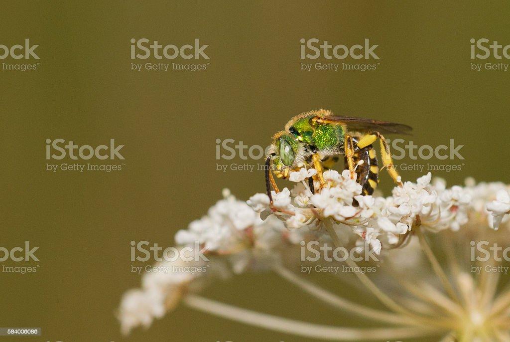 Virescent Green Metallic Bee stock photo