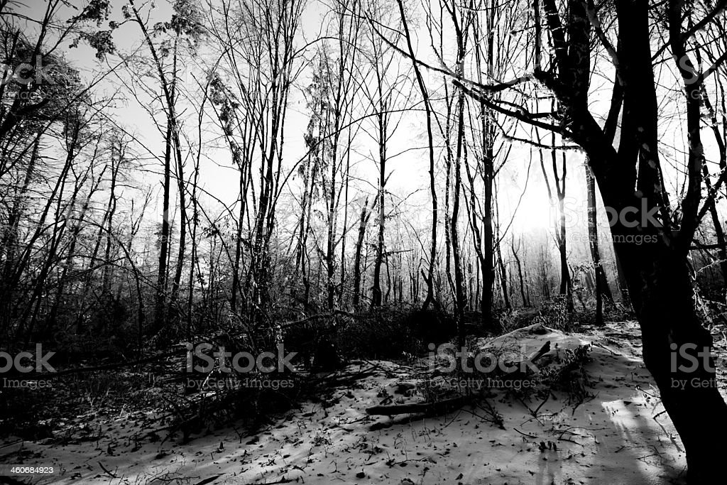 Virgin Forest Bare Branches Black and White royalty-free stock photo