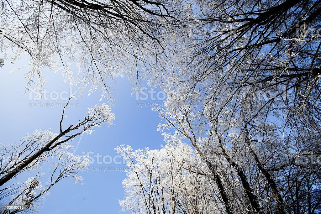 Virgin Forest Bare Branches Color royalty-free stock photo