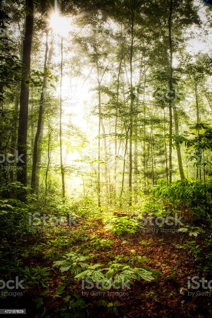 Virgin Forest stock photo