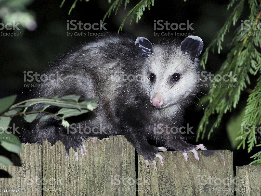 Virginia Opossum at Night stock photo