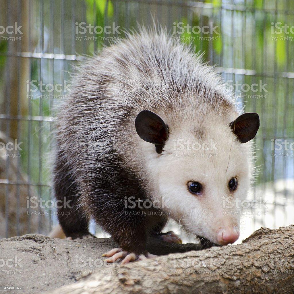 Virginia opossum  Didelphis virginiana stock photo
