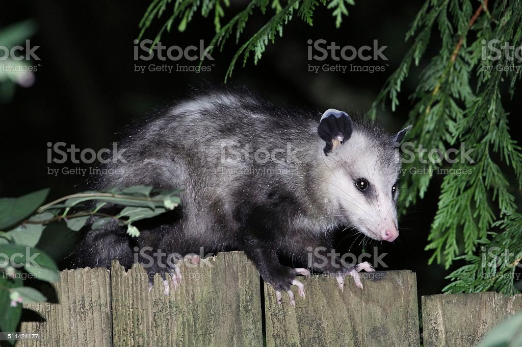 Virginia Opossum on a Fence Profile stock photo