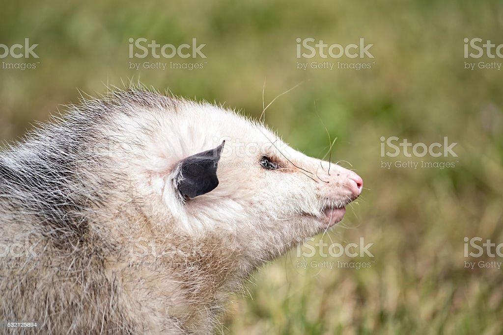 Virginia Opossum stock photo
