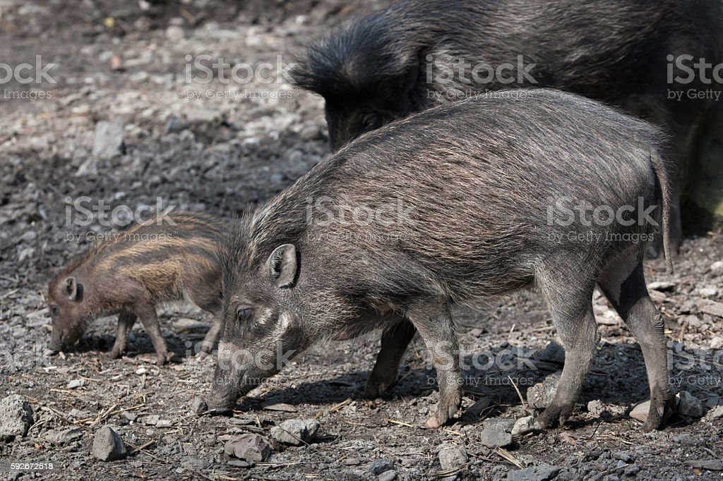 Visayan warty pig (Sus cebifrons). stock photo