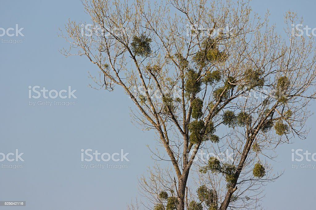 Viscum album commonly known as European mistletoe, common mistletoe stock photo