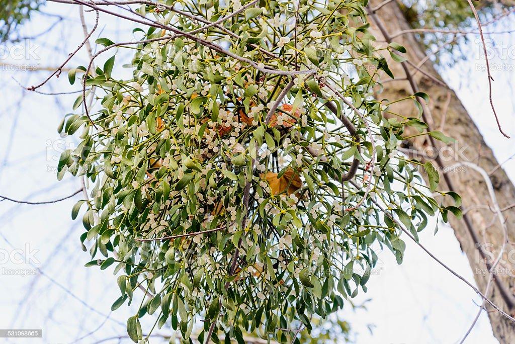 Viscum Album on the Tree stock photo