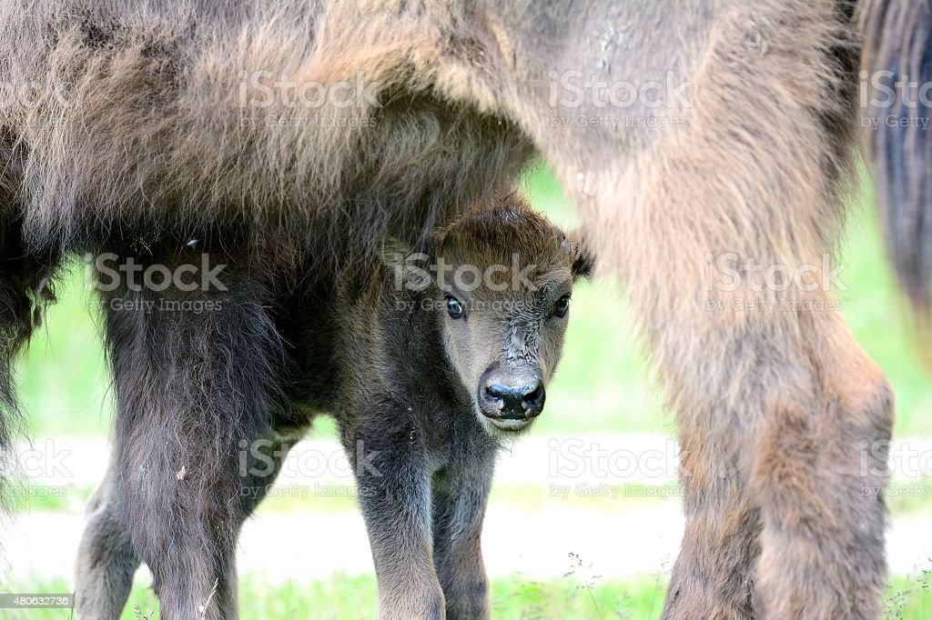 Visent and youngling stock photo
