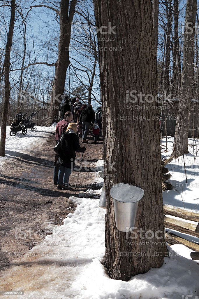 Visiting Maple Syrup Harvest royalty-free stock photo