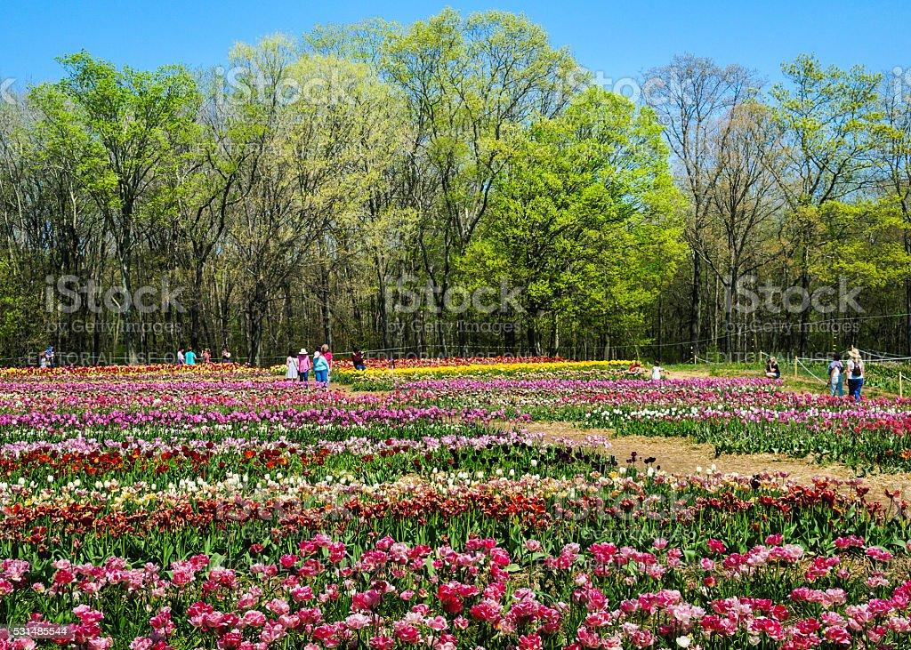 Visiting the Tulip Farm stock photo