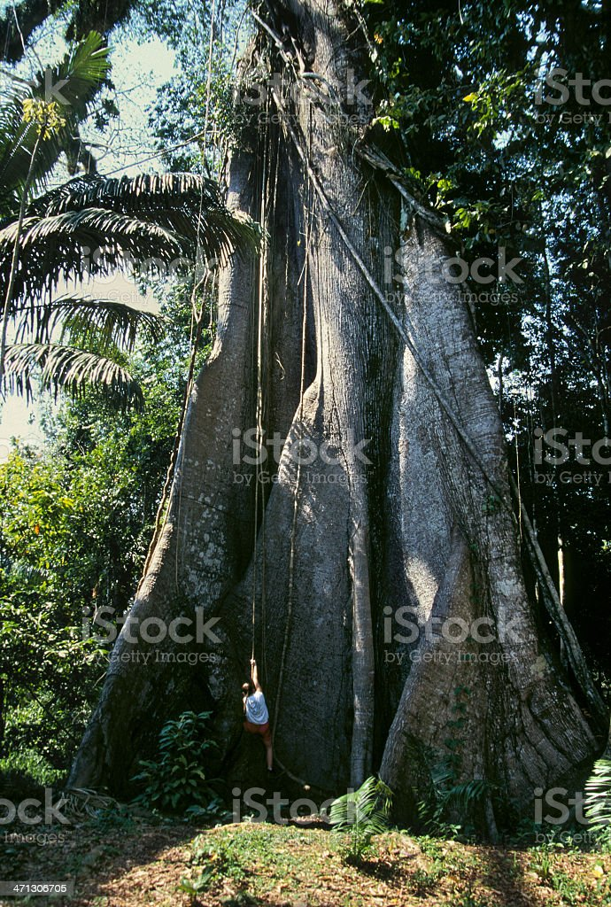 Visitor and giant rainforest tree in the Peruvian Amazon stock photo