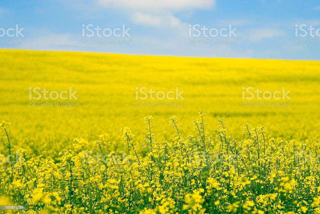 Vista of a field of yellow oilseed rape flowers stock photo