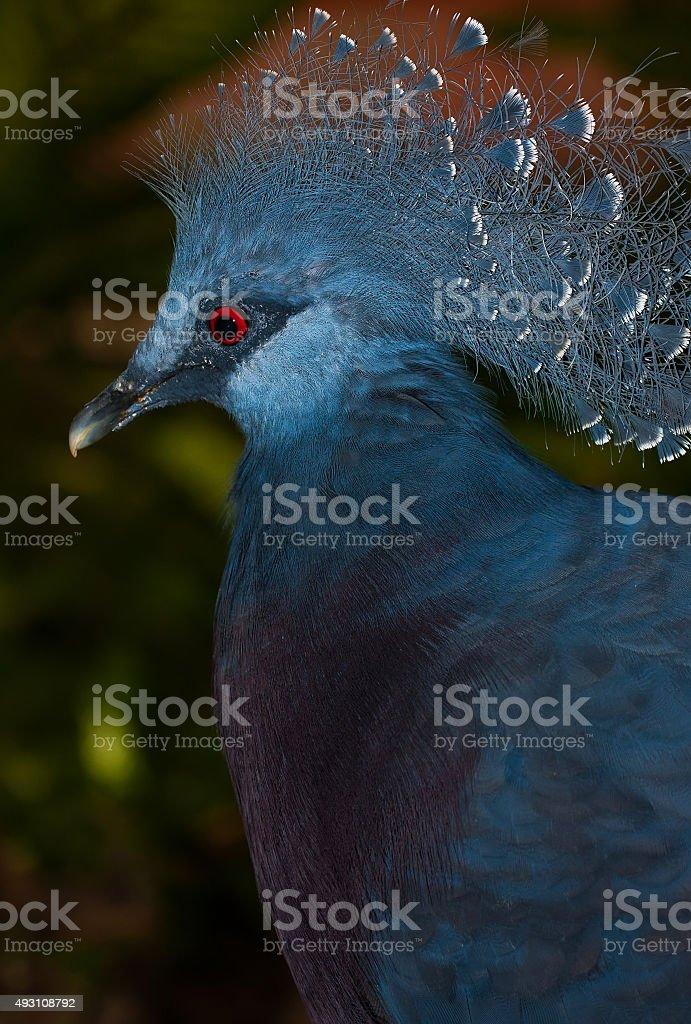 vistoria crowned pigeon stock photo