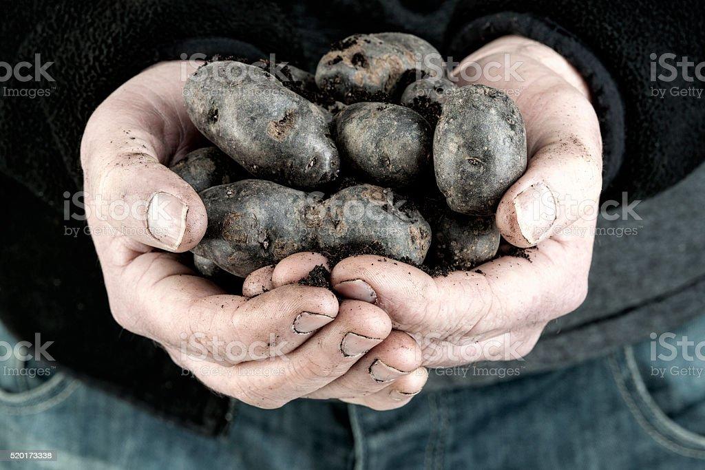 Vitelotte noir fresh potatoes stock photo