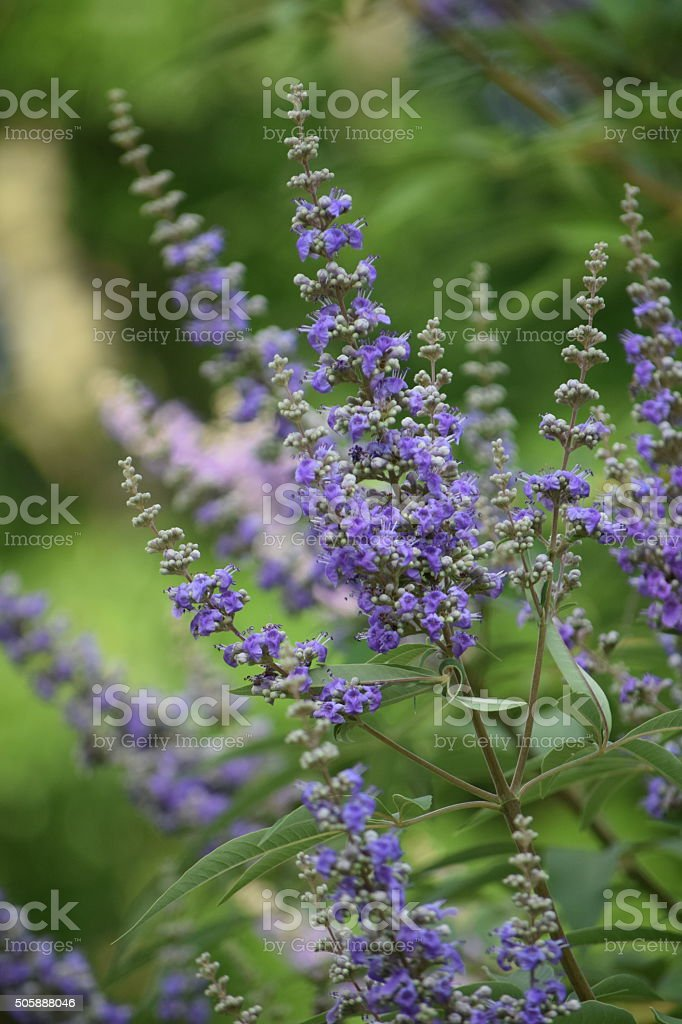 Vitex Plant Texas Lilac Chaste Tree Purple Flowering