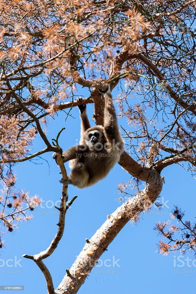 Vithandad gibbon stock photo