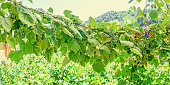 Vitis vinifera (grape vine) green leaves in the sun