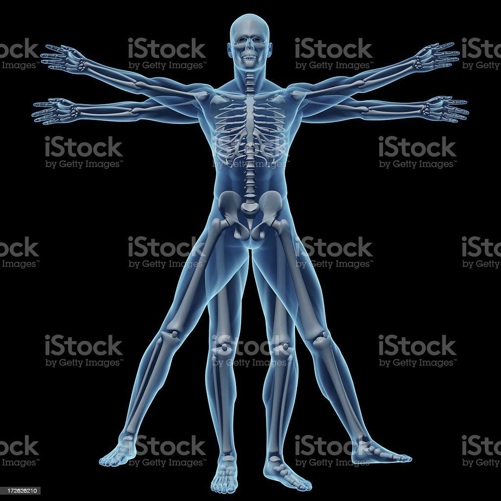 Vitruvian man with skeleton royalty-free stock photo