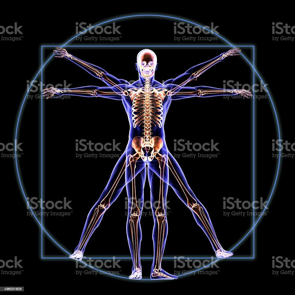 Vitruvian Skeleton Man Anatomy stock photo