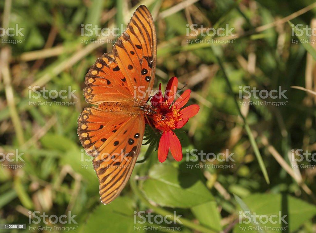 Vivid y hermosa mariposa del golfo en flor roja foto de stock libre de derechos