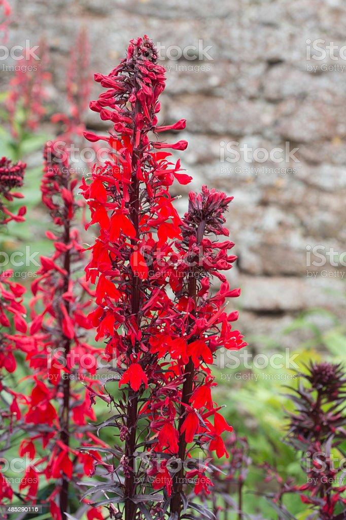 Vivid Cardinal flower in bloom. stock photo