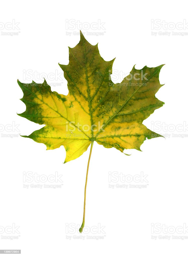 vivid fall leaf royalty-free stock photo