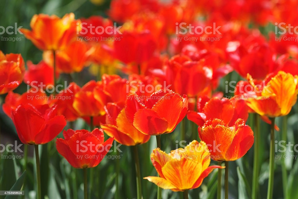 Vivid fringed tulips stock photo