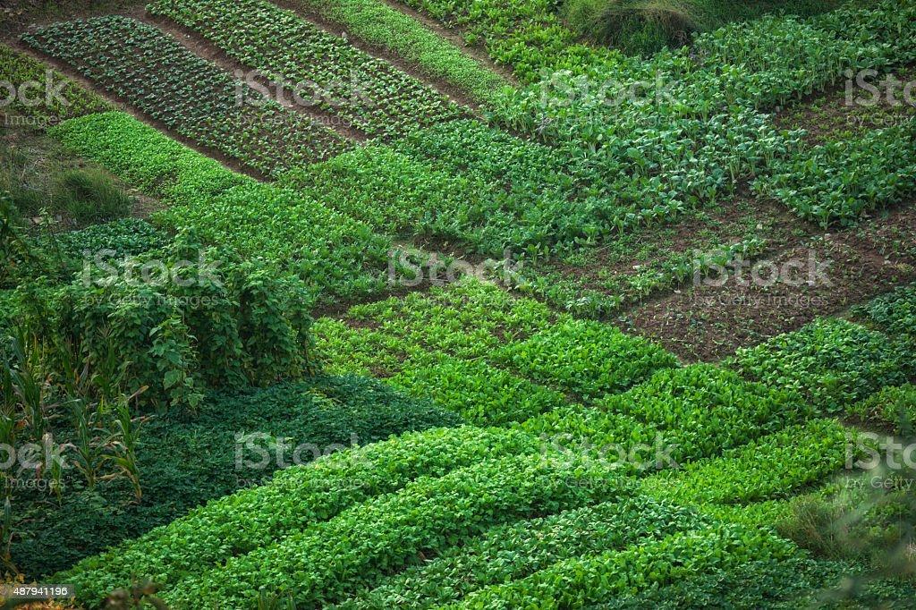 Vivid green agricultural plots in China stock photo
