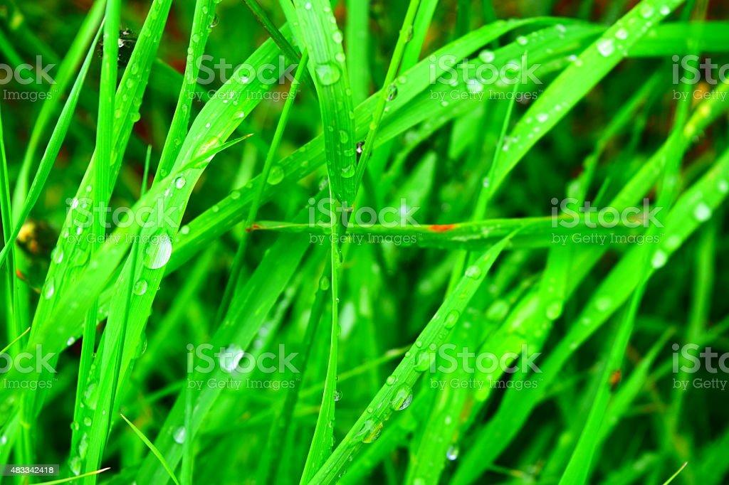 vivid green grass after the rain royalty-free stock photo