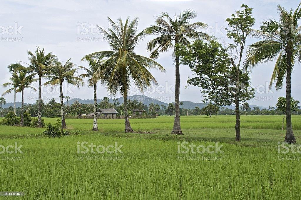 Vivid green rice fields around Kep, South Cambodia royalty-free stock photo