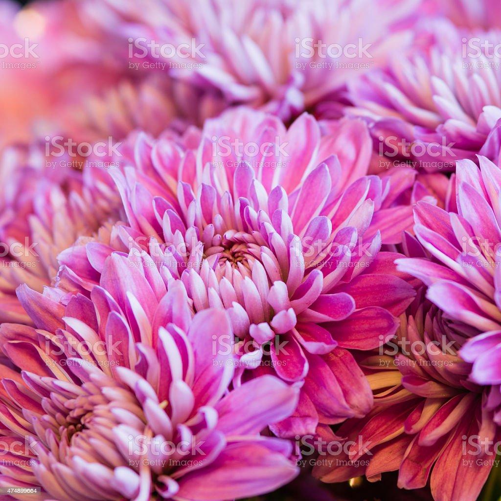 Vivid Lavender Chrysanthemum background stock photo