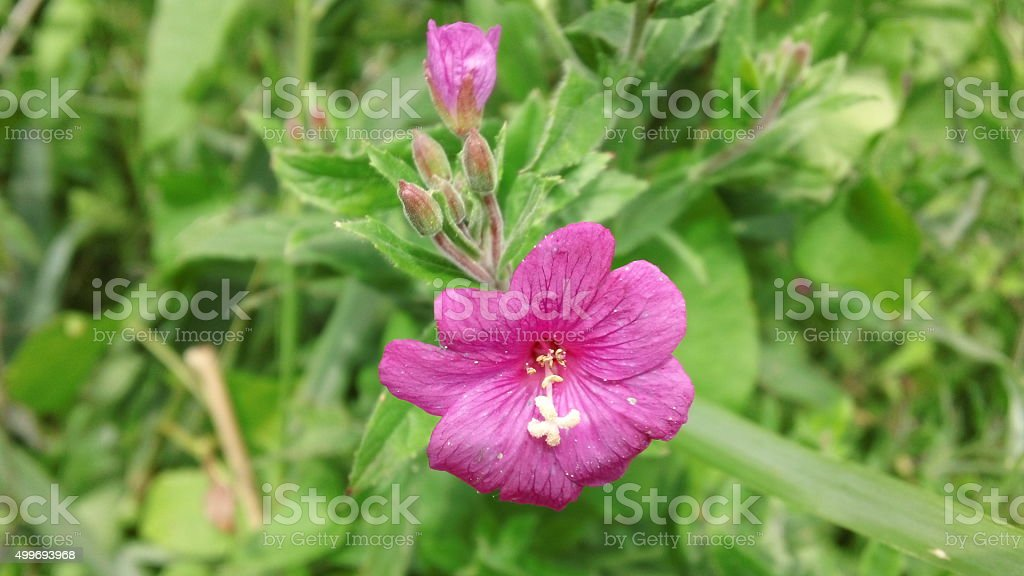 Vivid pink flower - Great Willowherb stock photo
