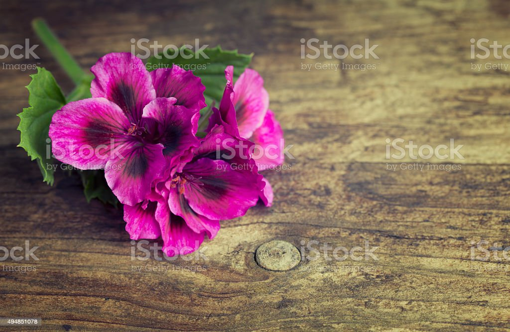 Vivid pink geraniums on a vintage wood background stock photo