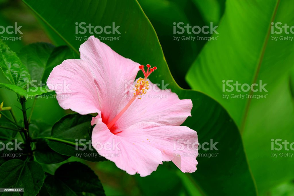 Vivid pink hibicus is blooming stock photo