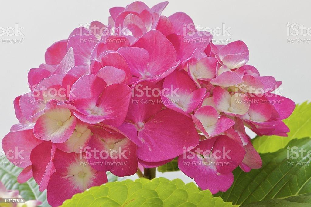 Vivid Pink Hydrangea Green Leaves White Background stock photo