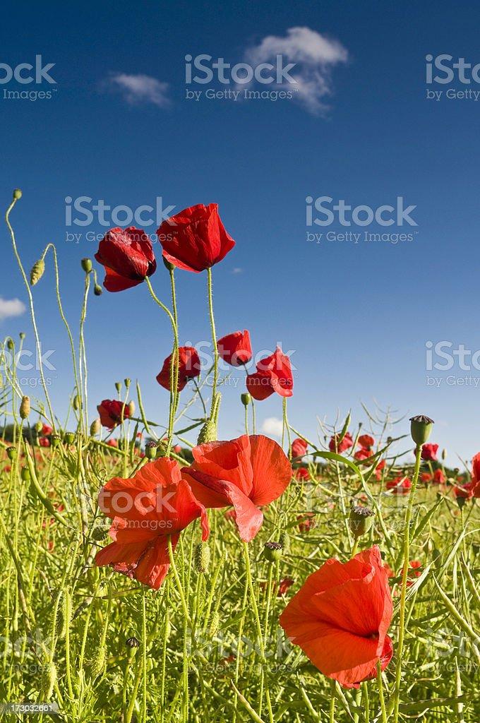 Vivid poppies summer blue sky royalty-free stock photo