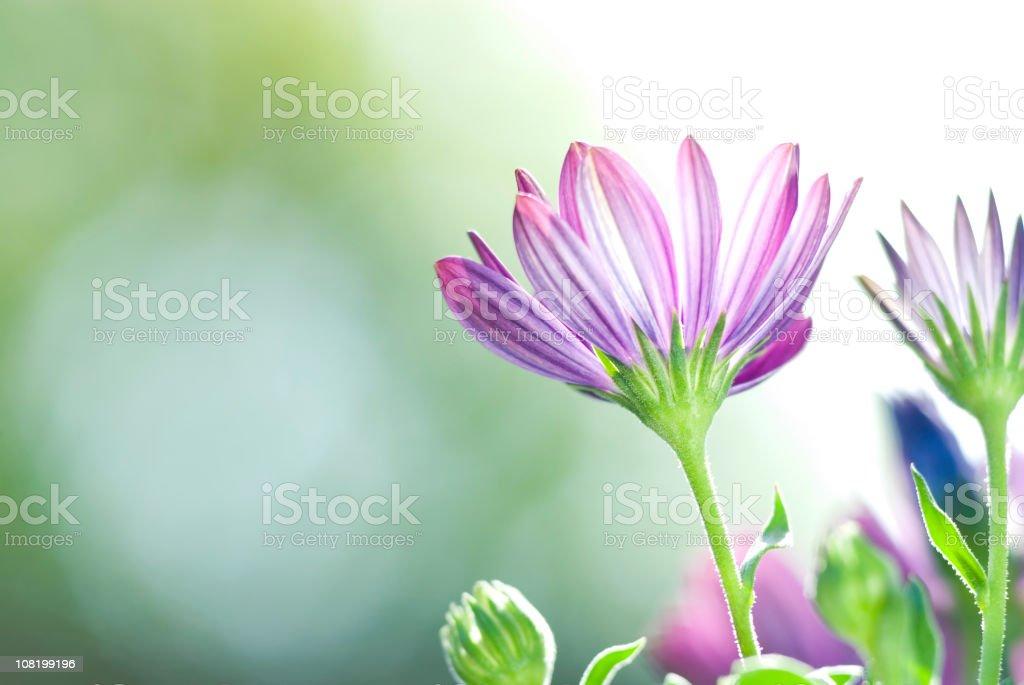 Vivid Purple Osteospermum Daily Flowers royalty-free stock photo