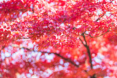 Vivid red Japanese maple tree leaves