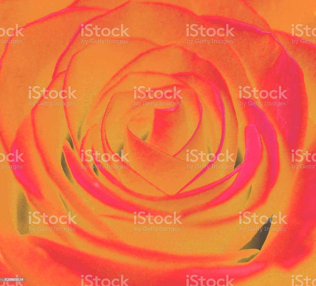 Vivid rose stock photo