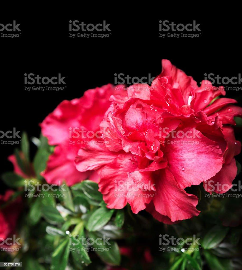 Vivid scarlet azalea bush flower stock photo