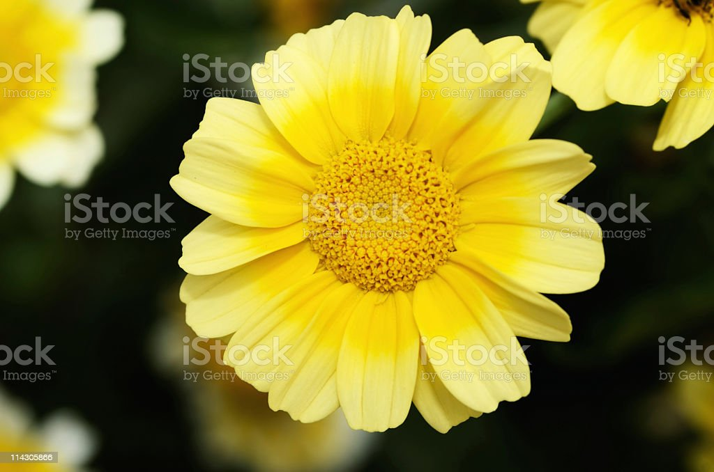 Vivid Sunflower stock photo