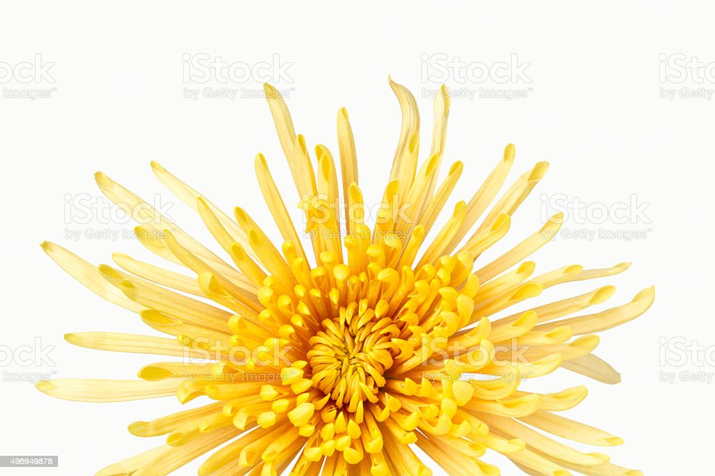 Vivid yellow chrysanthemum stock photo