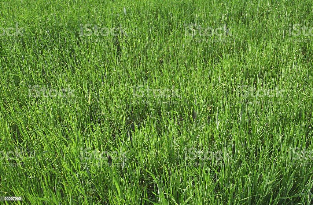 vivid young wheat royalty-free stock photo