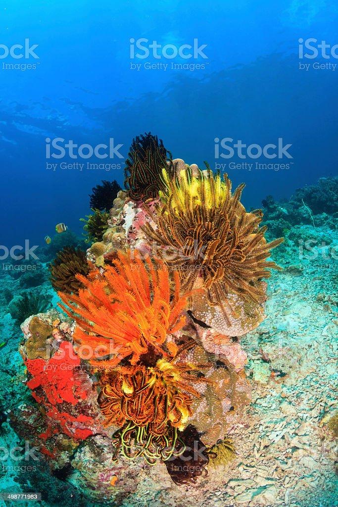 Vividly coloured Crinoids on a coral pinnacle stock photo