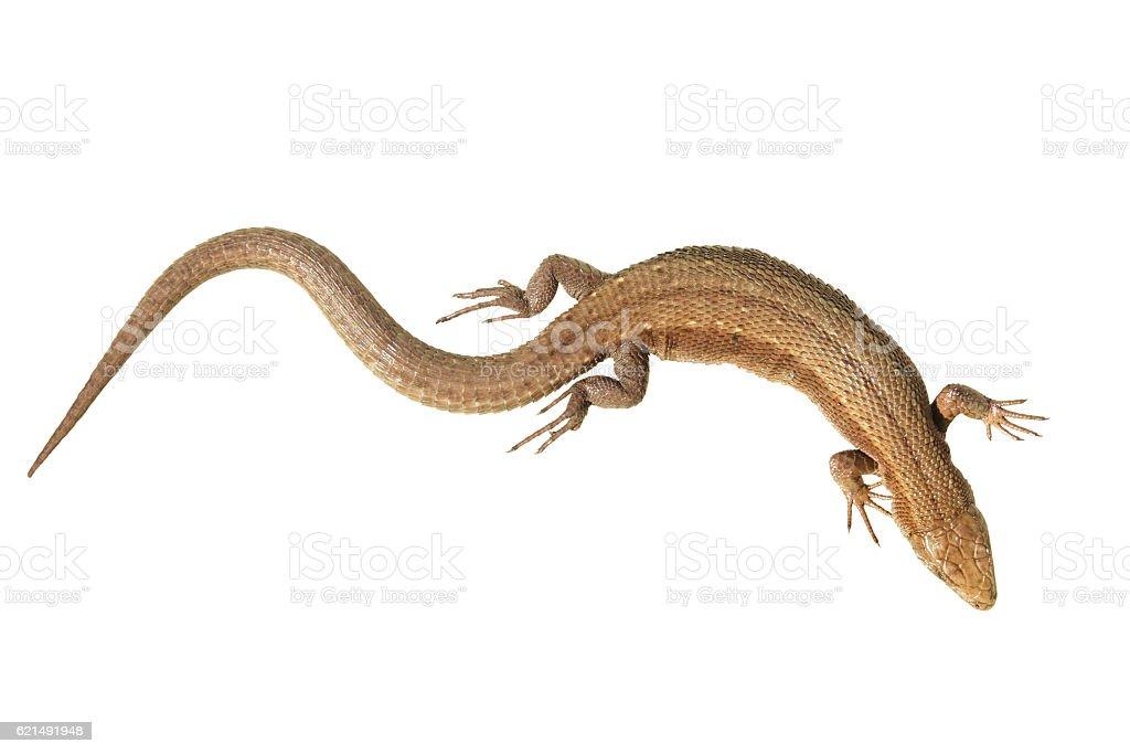 Viviparous  Common Lizard isolated on white stock photo